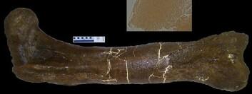 Dette er lårbeinet som angivelig inneholdt resten av kollagen (Foto: San Antonio et al./Wikimedia Creative Commons)