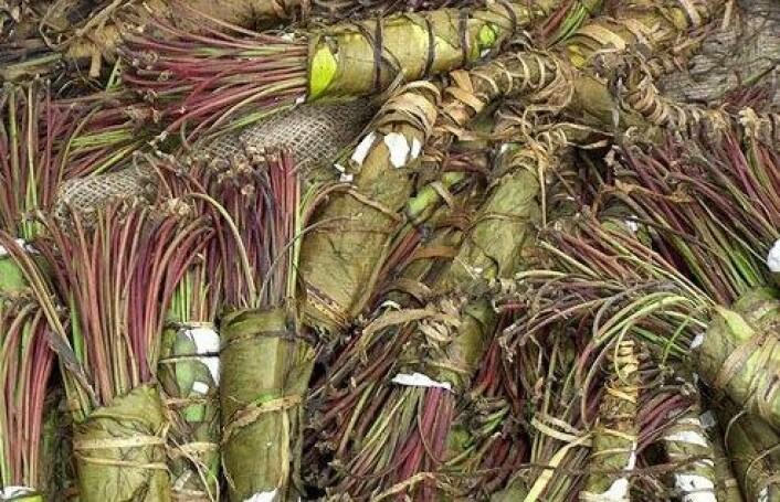 Khat brukes som stimulerende middel hovedsakelig i Øst-Afrika og i Midtøsten. Planten viser seg å ha virkestoffer mot leukemi. (Foto: DEA/Wikimedia Commons)