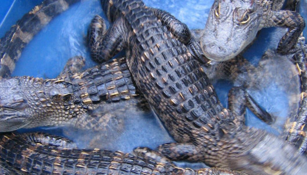 Det er amerikanske alligatorer på omtrent elleve kilo som har blitt brukt til forsøkene (Foto: Hannah J. Chirillo)