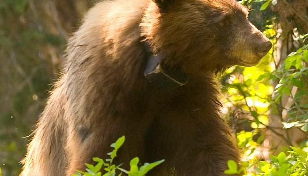Brunbjørn med radiohalsbånd (Foto: Michael Wifall/Flickr Creative Commons)