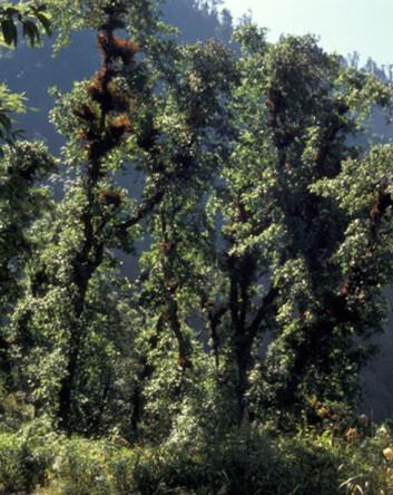 """""""Eikeskog i Nepal. Bladverket er styvet og brukt som vinterfôr for husdyr. De brune deler på eiketrærne er epifyttiske moser og bregner, som er habitat for mange orkideer. Foto: O.R. Vetaas."""""""