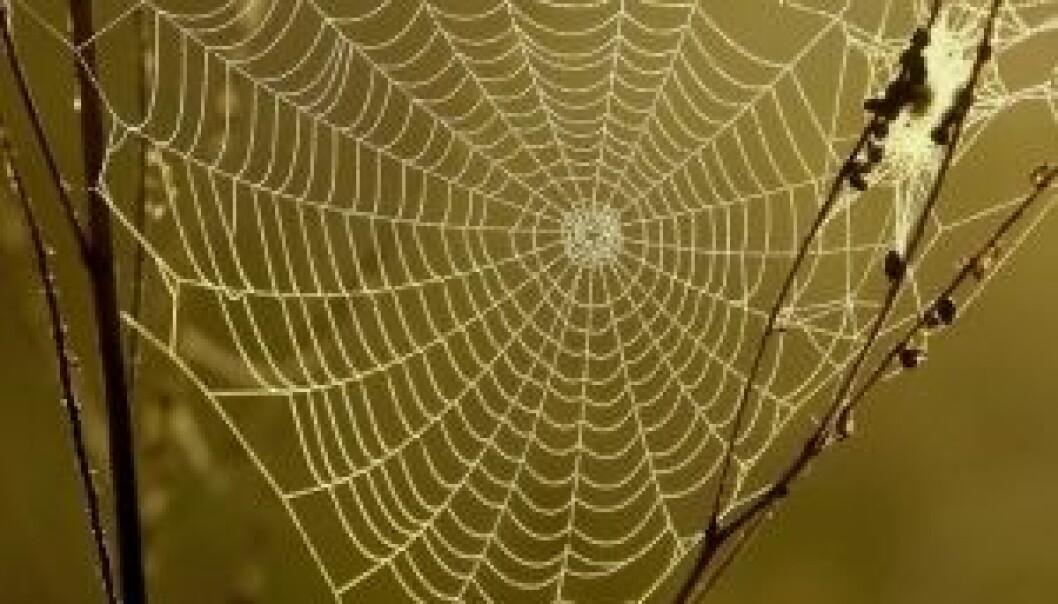 Kappløp om edderkoppsilke