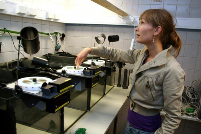 Stipendiat Janicke Nordgreen ved Norges veterinærhøgskole forsker på smerte hos fisk. I kar med fôringssystemer, kamera og belysning kan fiskens reaksjon på ulike stimuli måles. (Foto: Asle Rønning)