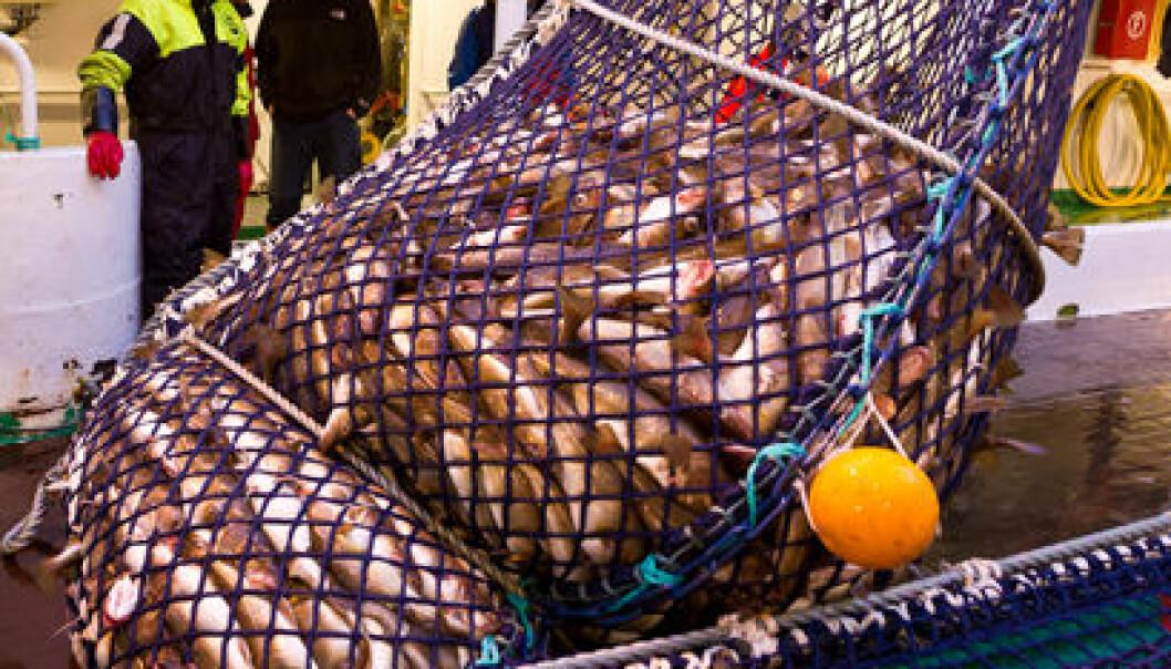Holder torsken levende etter trålfangst