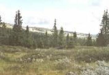 """""""Golsfjellet 2000. Nå har man tatt i bruk systematisk beiting med geit for å pleie landskapet. (Foto: Morten Clemetsen)"""""""