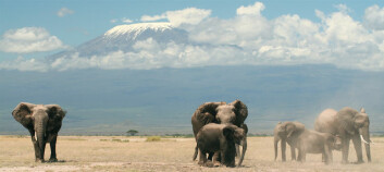 Elefanter i Amboseli nasjonalpark i Kenya (Foto: Graeme Shannon)