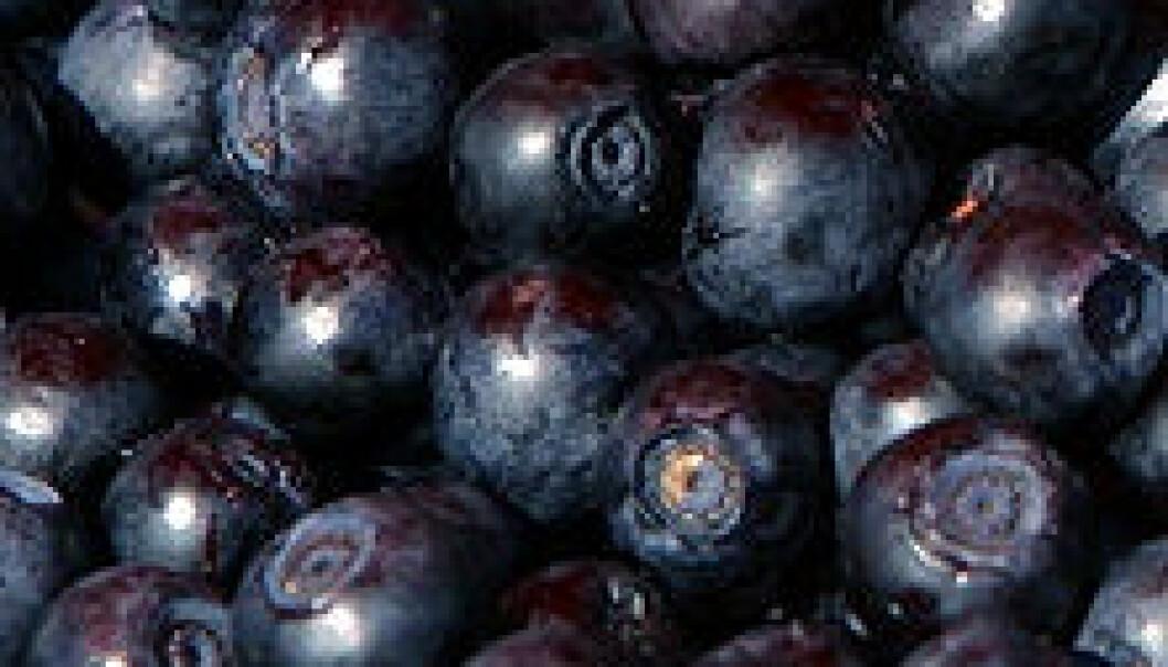 Ustabil vinter kritisk for blåbær