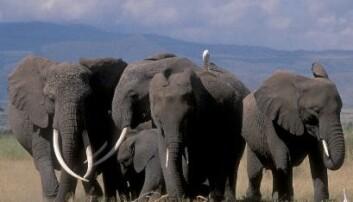 En elefantgruppe i Amboseli nasjonalpark i Kenya (Foto: Karen McComb)