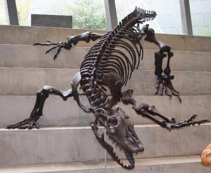 """""""En modell av skjelettet til kjempeøgla Megalania, som kunne bli over 4,5 meter lange. (Foto: Cas Liber/Wikimedia Commons)"""""""
