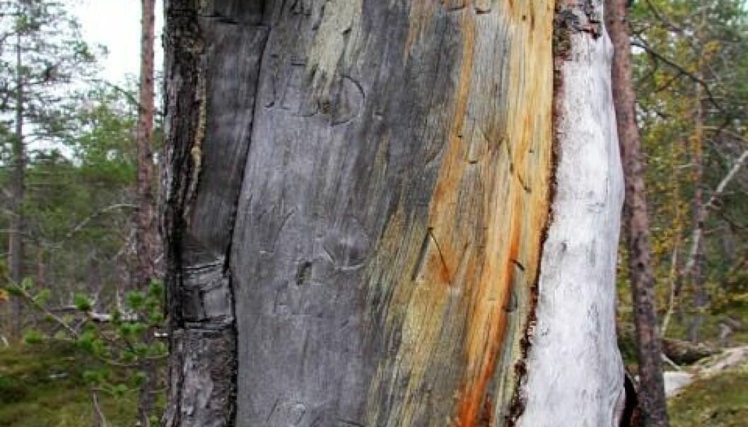 """Lars Person-furua i Dividalen. Innskrift fra 1700-tallet i arr etter barkflekking: """"LARS PERSON VDS 1748 SEBD 9.DAG MARD NILS"""". (Foto: Arve Elvebakk)"""