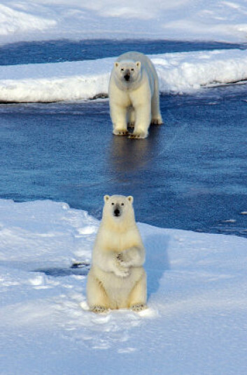 """""""Isbjørn på smeltende isflak har blitt selve symbolet på menneskeskapte klimaendringer, men muligens har vinden mer av skylden enn vi har trodd. (Foto: iStockphoto)"""""""