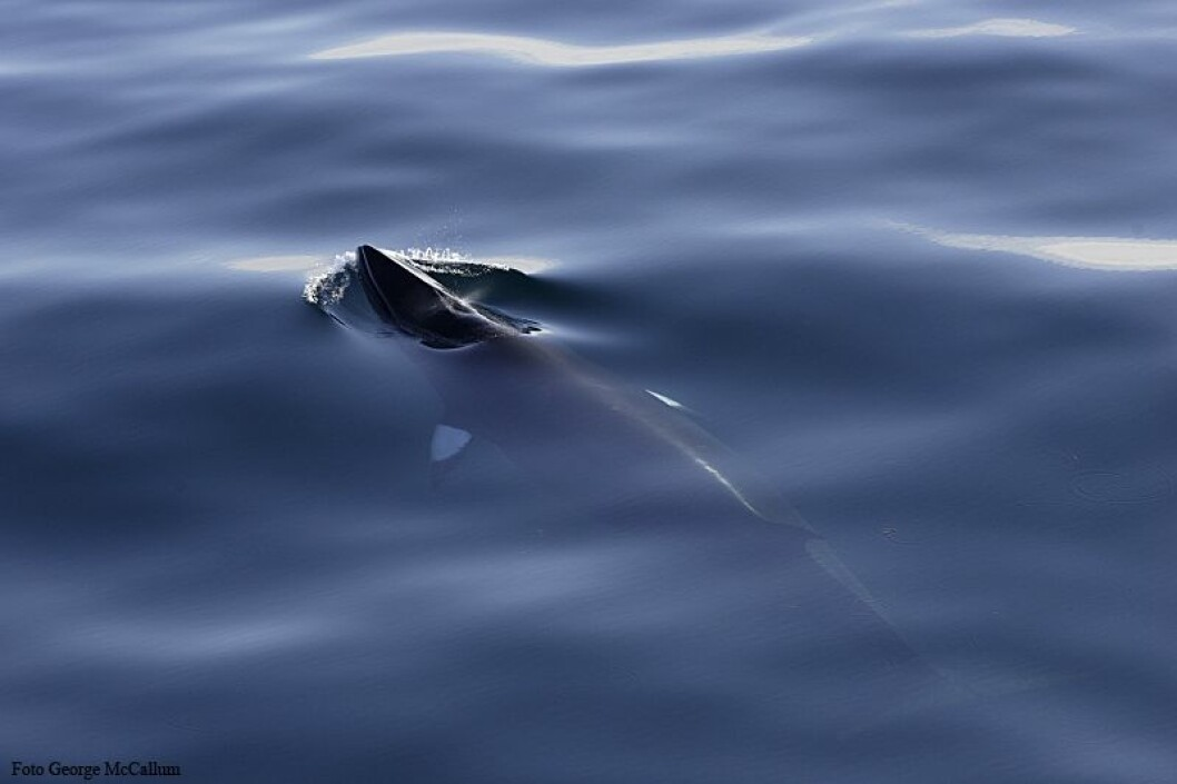 Arktisk vågehval med det karakteristiske hvite båndet over brystfinnen. I tilllegg er den arktiske vågehvalen litt mindre enn den antarktiske. (Foto: George McCallum)