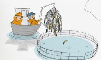Levendelagring betyr at fisken fanges og holdes levende i merder. (Illustrasjon: Trine Vallevik Håbjørg)