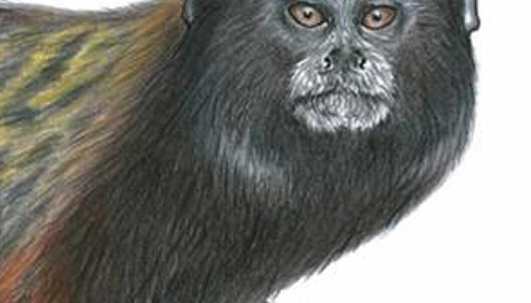 Her er den nye apen, som kalles Muras svairyggede tamarin. (Bilde ved Stephen Nash)