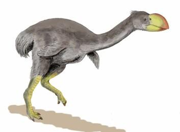 """""""Dromornis stirtoni er den største ikke-flyvende fuglen man vet om. Den kunne bli opptil 3 meter høy og veide rundt 500 kilo. (Illustrasjon: Nobu Tamura/Wikimedia Commons)"""""""