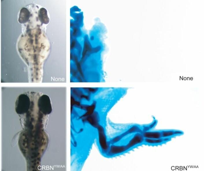"""""""På de øverste bildene ser man sebrafisk hvor cereblon er blokkert av forskerne. På de nederste er proteinet virksomt. (Foto: H.Handa ved Tokyo Institute of Technology.)"""""""