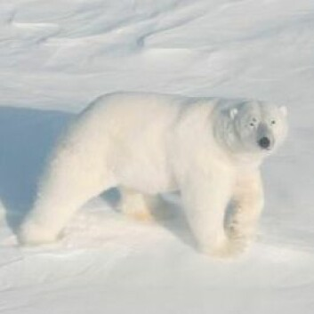 (Foto: Magnus Andersen/Norsk Polarinstitutt)