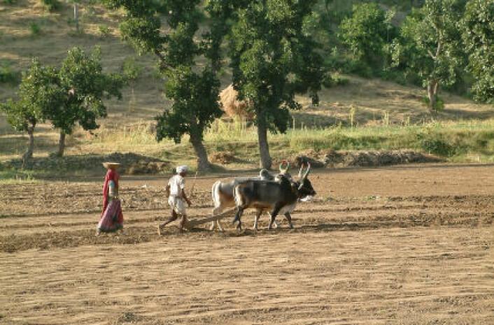 Grunnvannet synker i det nordvestlige India, viser data fra tysk-amerikansk satelittprogram. Bildet viser tradisjonelt landbruk i delstaten Rajasthan. (Foto: iStockphoto)