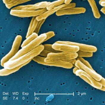 Fargelagte bakterier av Mycobacterium tuberculosis, som forårsaker tuberkulose. (Foto: Janice Haney Carr)