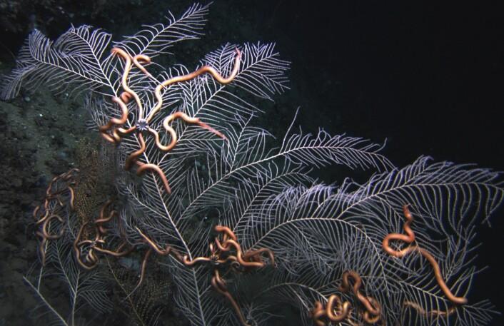 En skrantende sjøvifte (Callogorgia americana) med symbiotiske slangestjerner. (Foto: Lophelia II 2010 Expedition, NOAA-OER/BOEMRE).