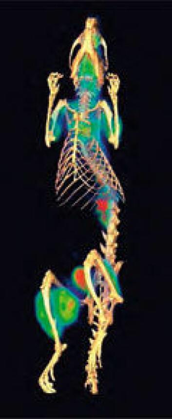Rotte-DIAGNOSE: Områder med høy metabolisme er vist i forskjellige farger. Dette dyret ser ut til å ha en svulst på det ene benet. Foto: Gamma Medica-Ideas
