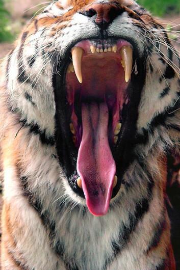 Den ville tigeren lever nå bare i seks prosent av de områdene hvor den tidligere fantes. Krypskyting, skoghogst og menneskets befolkningsvekst er de største truslene. (Foto: Wikimedia Commons)