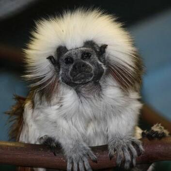 Kan bomullstopptamariner skille mellom ulike stavelser eller ikke? Dette eksemplaret av arten befinner seg på Louisville Zoo, USA. (Foto: Wikimedia Common)