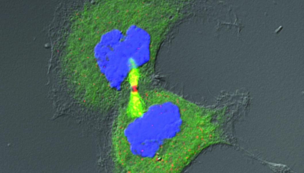 En morcelle gir opphav til to like datterceller.