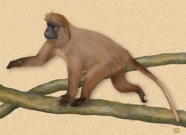 """""""Den svært sjeldne kipunji-apen er rundt en meter lang og det finnes bare omtrent 1100 stykker av dem. (Illustrasjon: Zina Deretsky, National Science Foundation)"""""""