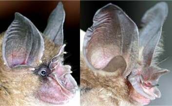 En typisk hesteskonese-flaggermus (til venstre) og en såkalt Bourret's hesteskonese-flaggermus (Rhinolophus paradoxolophus) ses til høyre. Sistnevnte har den store nesen, inkludert en løvliknende utvekst av ekstra skinn. Datamodellering viser at denne nesen har en perfekt lengde til å lage intenst fokusert ultralyd med, noe flaggermusen bruker til navigering og jakt. (Foto: Rolf Mueller, Virginia Tech.)