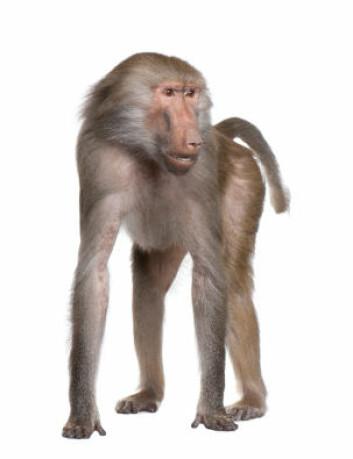 """""""Hos den ene kipunjipopulasjonen fant forskerne spor av bavian-DNA. (Illustrasjonsfoto: iStockphoto))"""""""