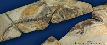 """""""Karbonisert hår i fossilet gir informasjon om pelsen til pattedyret Castorocauda lutrasimilis, som levde i det nordøstlige Kina for 164 millioner år siden. Foto: Zhe-Xi Luo/CMNH."""""""