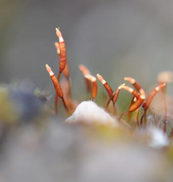Torntustmose (Tortula mucronifolia) med sine karakteristiske sporehus. (Foto: Kristian Hassel)