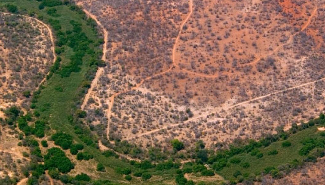 Et uttørket elveleie bukter seg gjennom afrikansk savanne. Foto fra småfly. (Foto: iStockphoto)