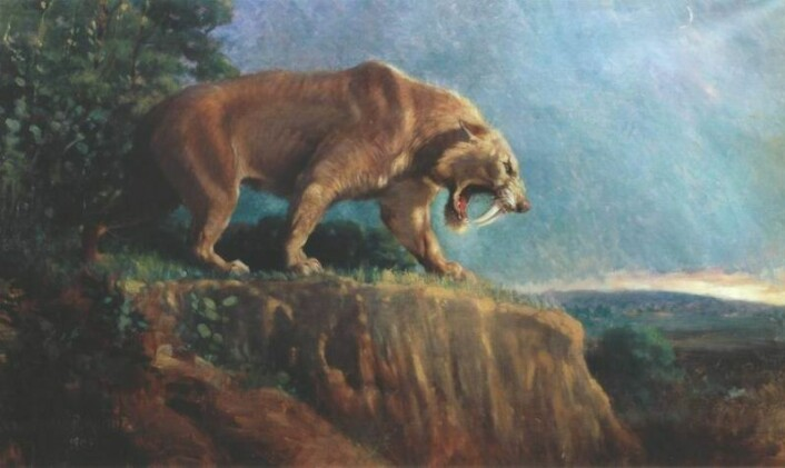 Denne illustrasjonen viser en sabeltannkatt av arten Smilodon fatalis. Bildet er laget på begynnelsen av 1900-tallet,av den amerikanske kunstneren Charles Knight.(Illustrasjon: Charles Knight/American Museum of Natural History/Wikimedia Commons)