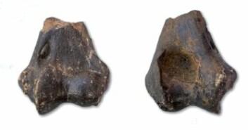 Deler av leggbein fra Homotherium crenatidens. Foto: Natuurhistorisch Museum Rotterdam