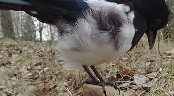 Avfall – en fugletrussel