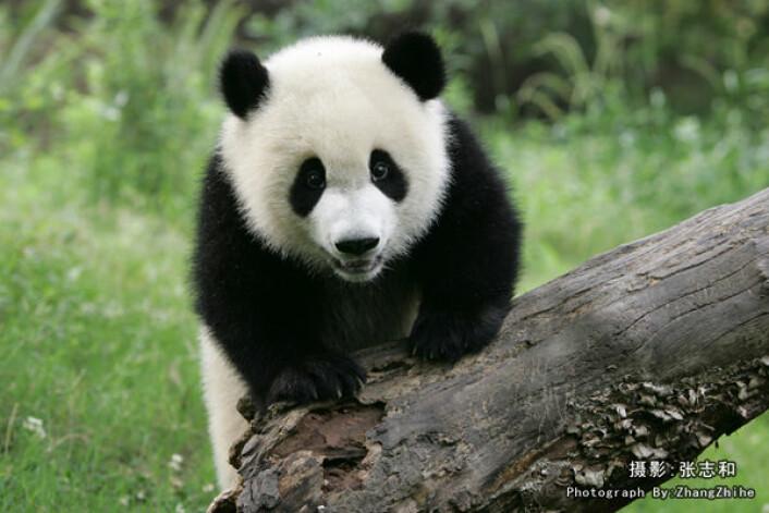 Pandaens gener er kartlagt. (Foto: Zhihe Zhang)