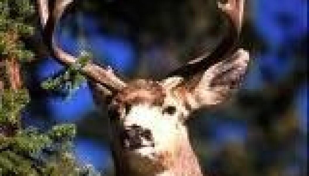 Hjorteauke på helsa laus