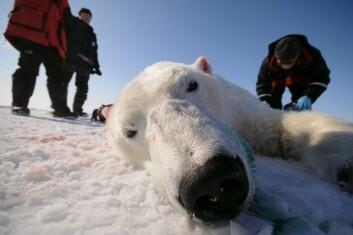 Professor Øystein Wiig har nylig merket 15 isbjørn mellom Grønland og Canada, for å vite hvordan isbjørnene vandrer, hvor stedbundne de er og hva som skjer om isen smelter. (Foto: Øystein Wiig/UiO)