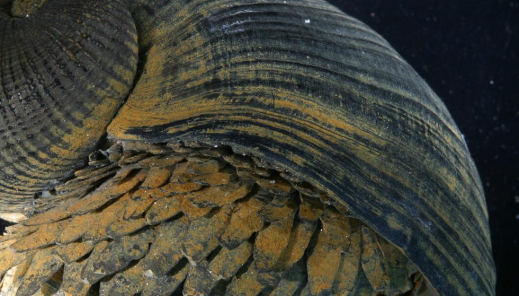 Sneglen Crysomallon squamiferum har et så sterkt skall at selv krabber med grepa klo må gi seg. (Foto: Anders Warén, Naturhistoriska riksmuseet, Stockholm)