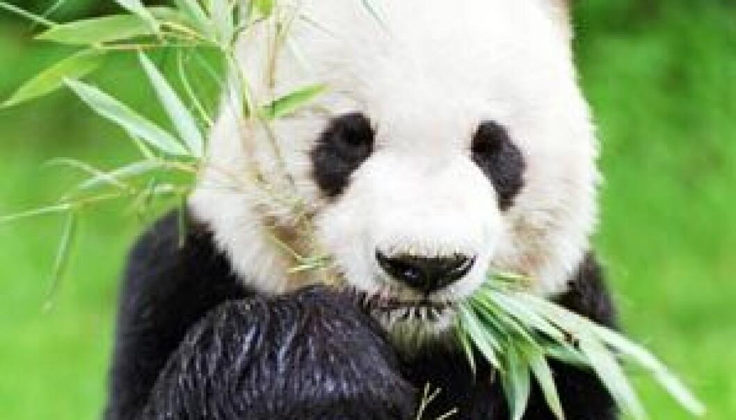 Panda. (Foto: Colourbox)