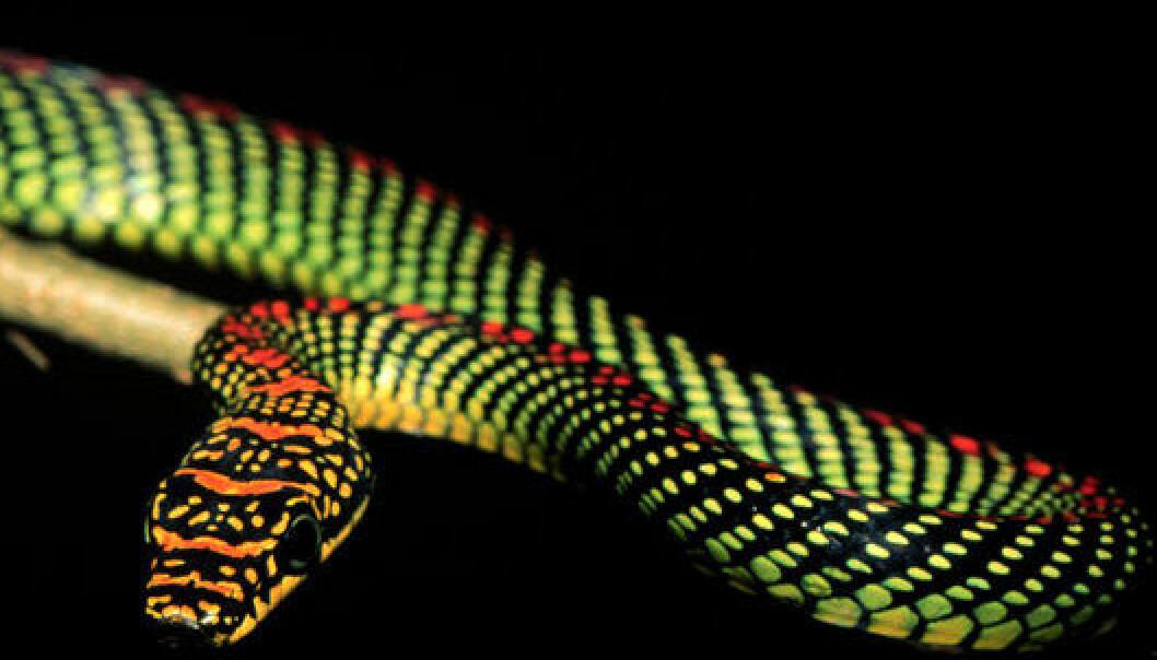 Her ser du den flygende slangen Chrysopelea paradisi. Du kan se flere portretter av denne slangen her. (Foto: Jake Socha)