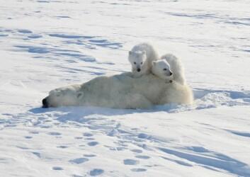 Moren merkes før ungene. (Foto: Øystein Wiig/UiO)