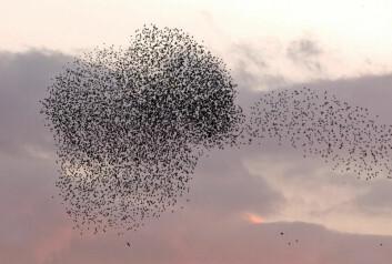 Hvilke bakterier skjuler disse trekkfuglene? (Illustrasjonsfoto: www.colourbox.no)