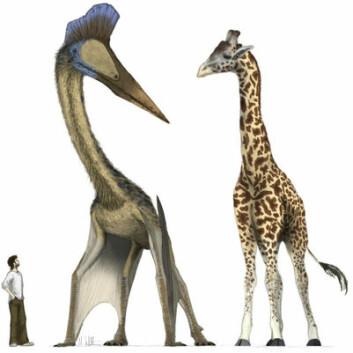 Den moderne mann, en sjiraff og en av de utryddede pterosaurene Hatzegotpteryx. Disse øglene brukte fire ben, og ikke to som fuglene, for å ta av for luftferd, ifølge ny forskning. Illustrasjon ved Mark Witton.