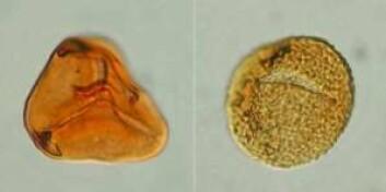 To fossile sporer fra bregner av den typen som var dominerende på grensen mellom trias- og juratiden, for 200 millioner år siden. De er 40 mikrometer i diameter, og man må bruke mikroskop for å se dem (Foto: Sofie Lindstrøm, GEUS)