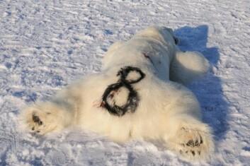 I tilfelle satellittsenderen svikter eller faller av, får isbjørnene også et merke på pelsen. (Foto: Øystein Wiig)
