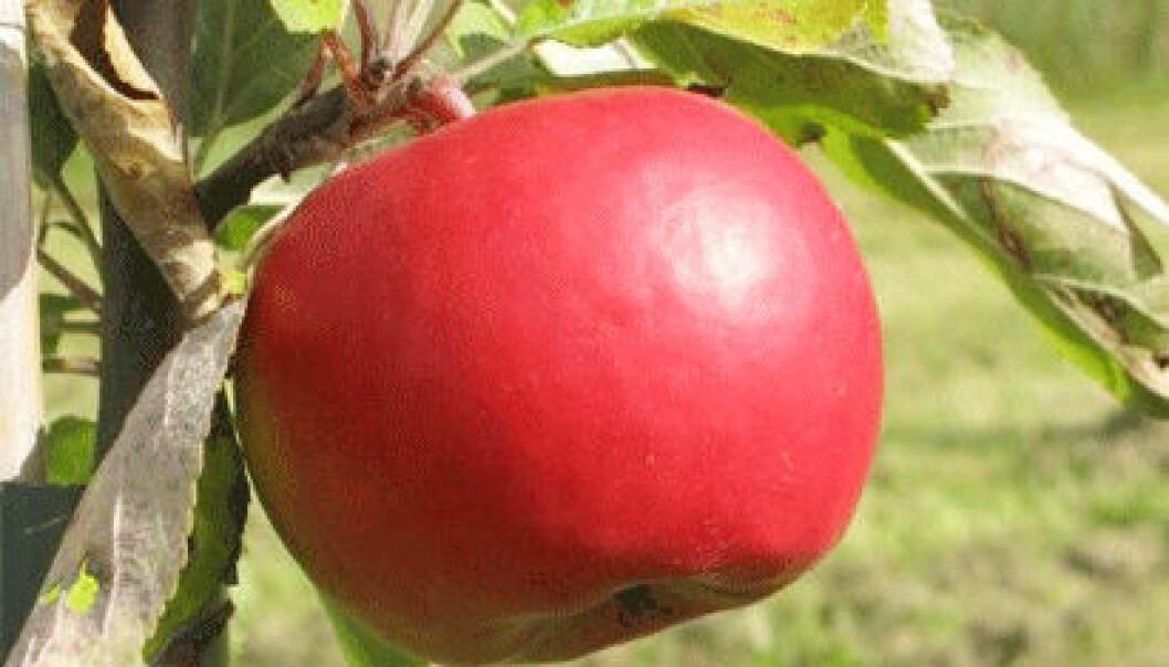 Søte, saftige epler uten kobber