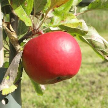 Your choice er en av de nye skurvresistente og økologiske eplesortene som også faller i smak hos forbrukerne.